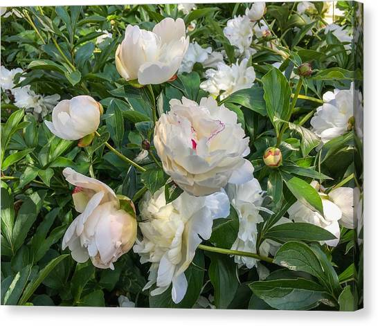 White Peonies In North Carolina Canvas Print