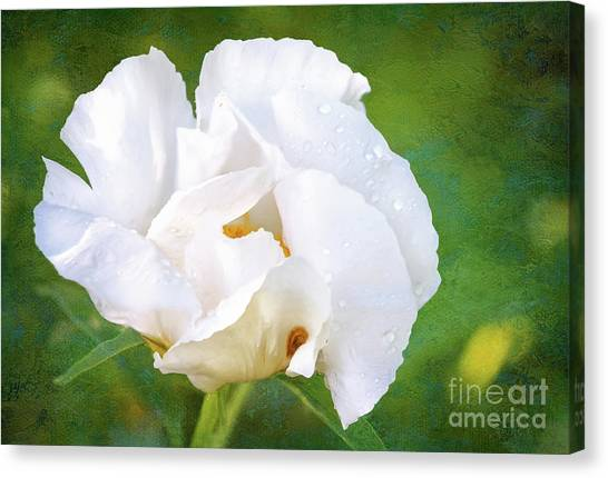 White Peony After The Rain Canvas Print