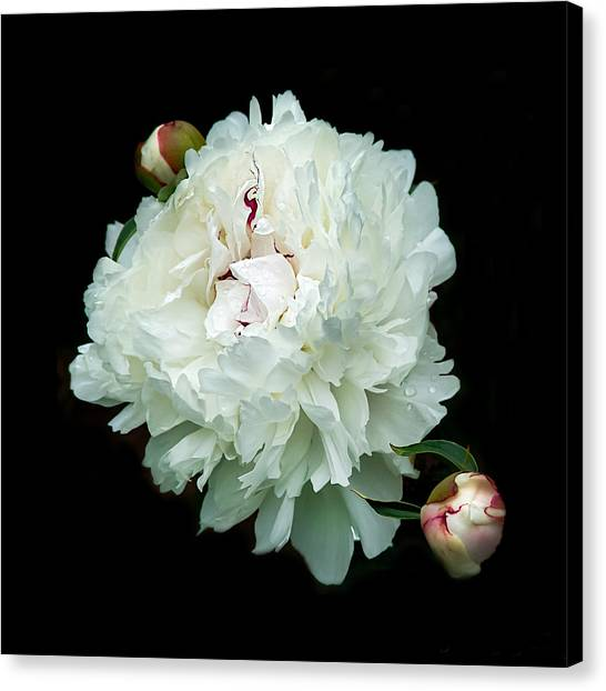 White Peony And Buds Canvas Print
