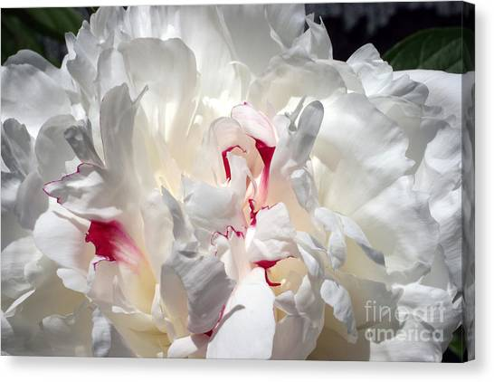 White Peony And Red Highlights Canvas Print