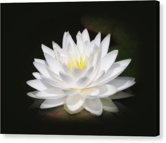 White Petals Glow - Water Lily Canvas Print