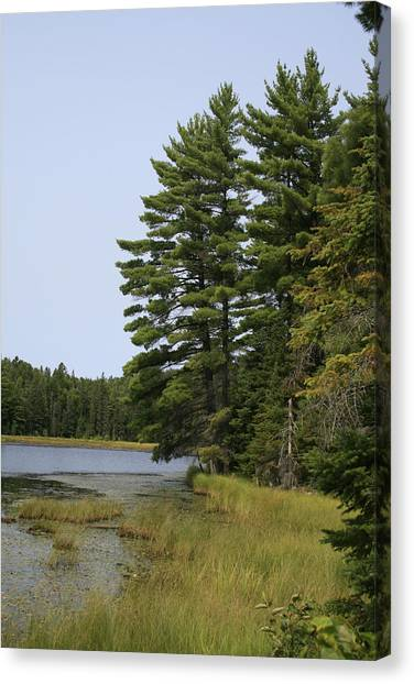 White Pines Canvas Print by Alan Rutherford