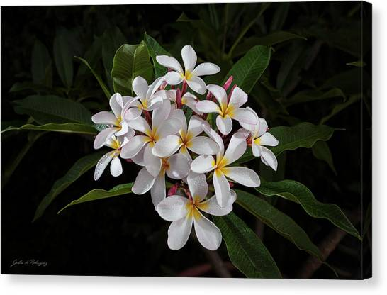 White Plumerias In Bloom Canvas Print