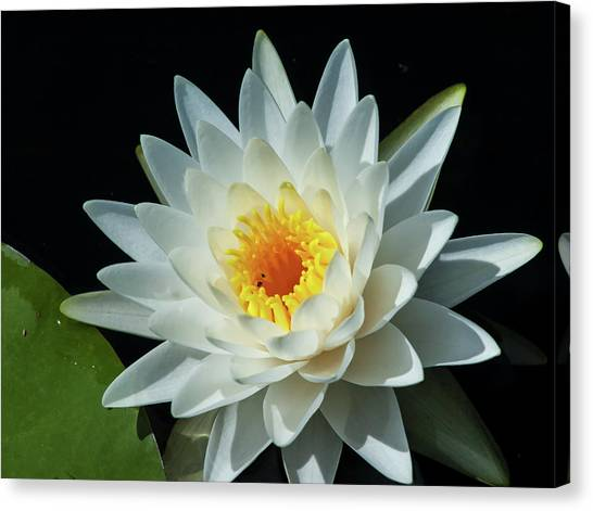 White Pond Lily Canvas Print