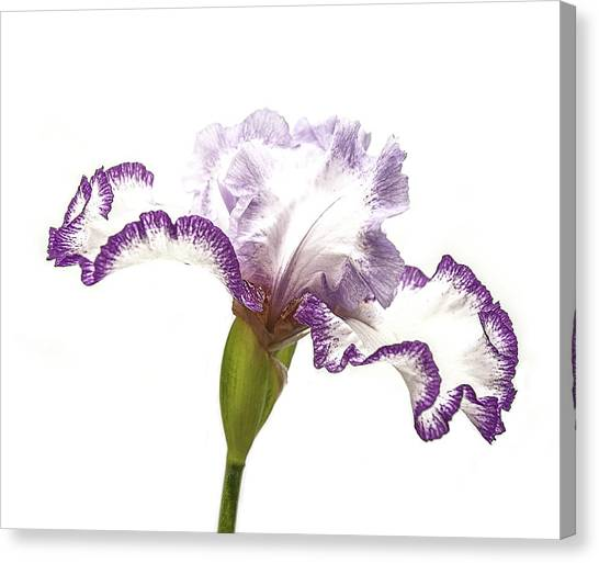 White Purple Iris Canvas Print