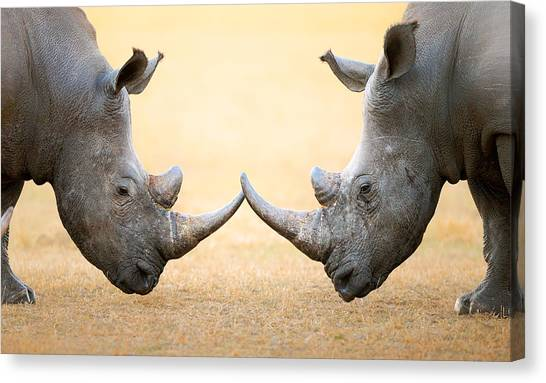 Rhinos Canvas Print - White Rhinoceros  Head To Head by Johan Swanepoel