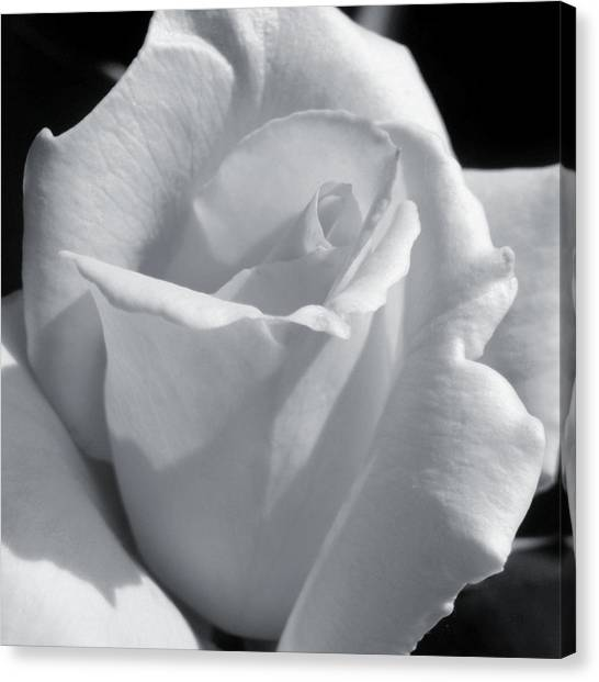 White Rose Canvas Print by JAMART Photography