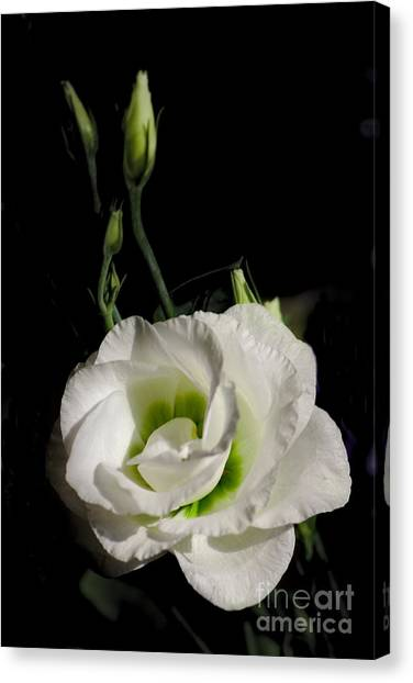 White Rose On Black Canvas Print