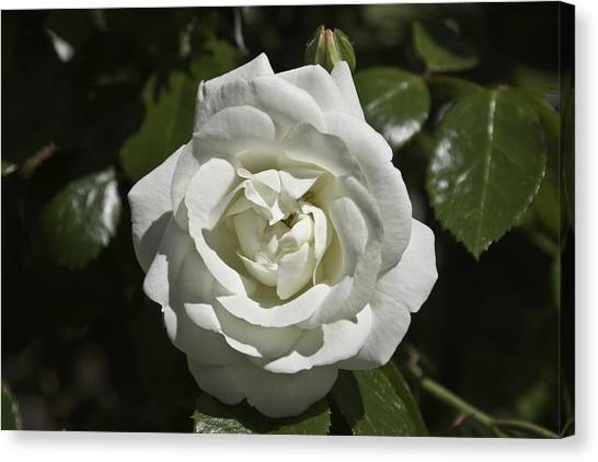 White Rose Canvas Print by Steve Kenney