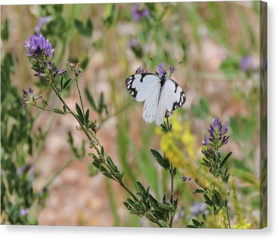 White-skipper On Lupine Canvas Print