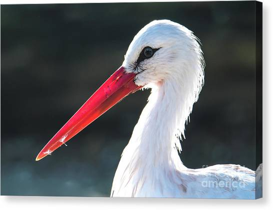 White Stork Canvas Print
