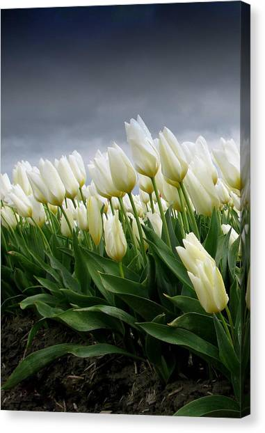 White Stormy Tulips Canvas Print by Karla DeCamp