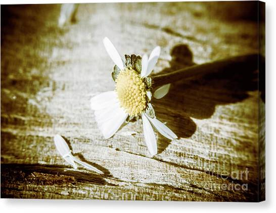 Fragility Canvas Print - White Summer Daisy Denuded Of Its Petals by Jorgo Photography - Wall Art Gallery