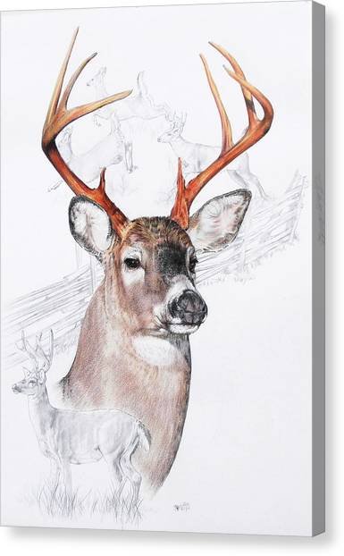 Canvas Print - White-tailed Deer by Barbara Keith