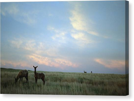Prairie Sunsets Canvas Print - White-tailed Deer On The Prairie by Joel Sartore