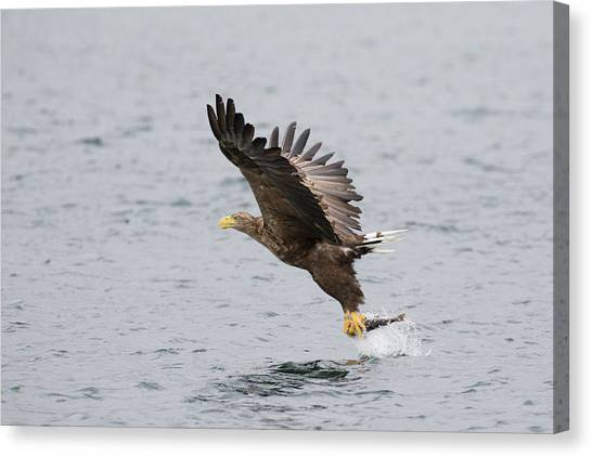 White-tailed Eagle Catching Dinner Canvas Print