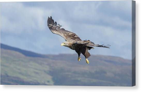 White-tailed Eagle On Mull Canvas Print