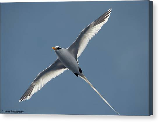 White-tailed Tropicbird Canvas Print