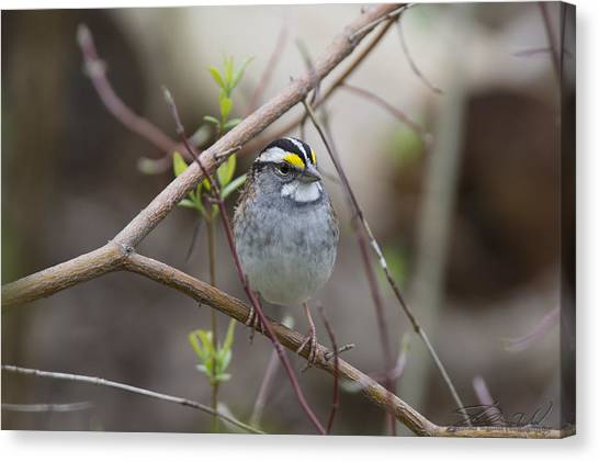 White Throat Canvas Print