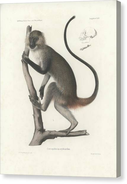 White Throated Guenon, Cercopithecus Albogularis Erythrarchus Canvas Print