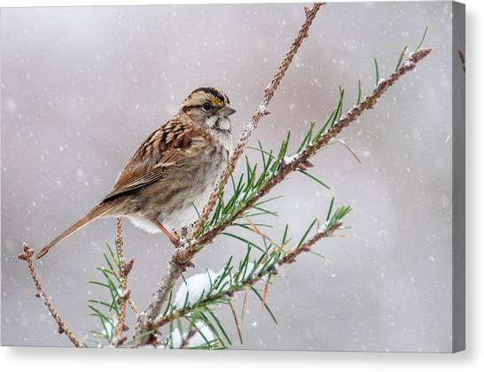 White Throated Sparrow Canvas Print