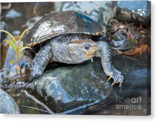Snapping Turtles Canvas Print - White-throated Turtle by B.G. Thomson