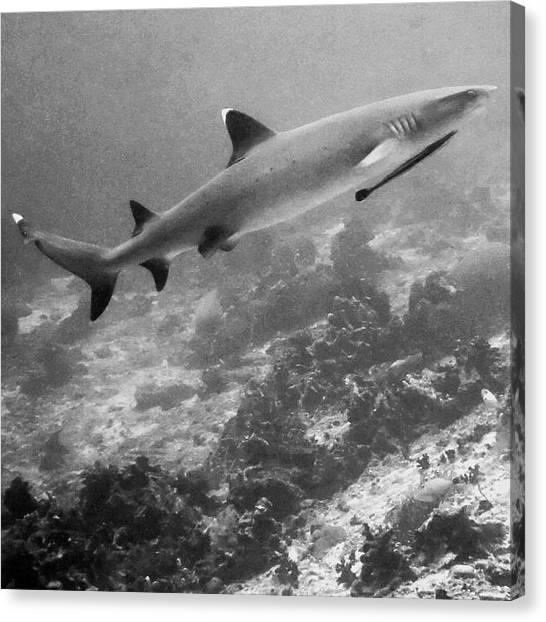 Scuba Diving Canvas Print - White Tip Reef Shark by George G Esguerra