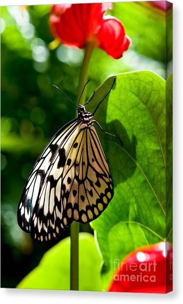 White Tree Nymph Butterfly 1 Canvas Print