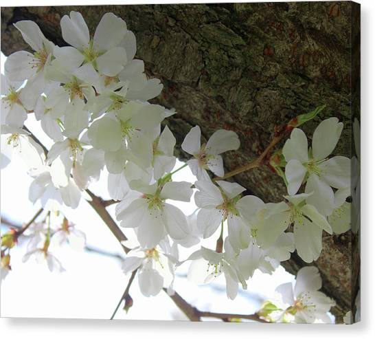 Dogwood Branch Canvas Print