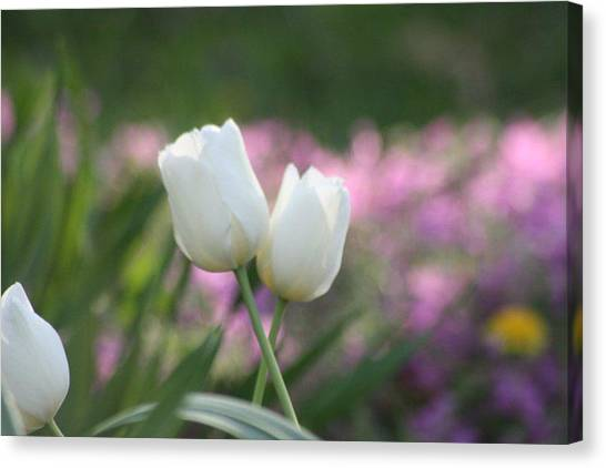 White Tulips Canvas Print by Angie  Wise