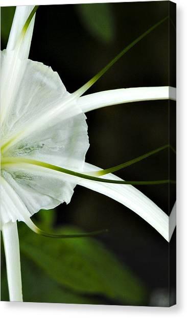 White Whispy Flower Canvas Print by Tessa Hunt-Woodland