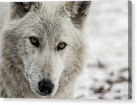 Canvas Print featuring the photograph White Wolf II by Brad Allen Fine Art