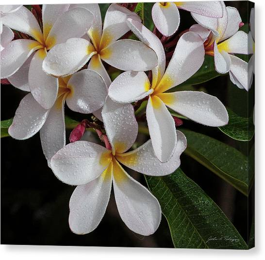 White/yellow Plumerias In Bloom Canvas Print