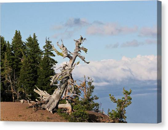 Old Home Canvas Print - Whitebark Pine At Crater Lake's Rim - Oregon by Christine Till