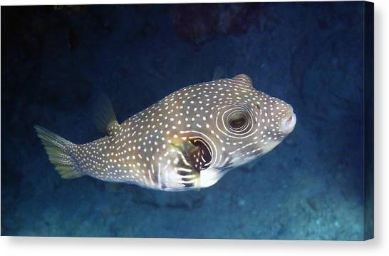 Whitespotted Pufferfish Closeup Canvas Print