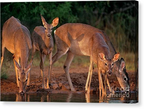 Canvas Print featuring the photograph Whitetail Deer At Waterhole Texas by Dave Welling