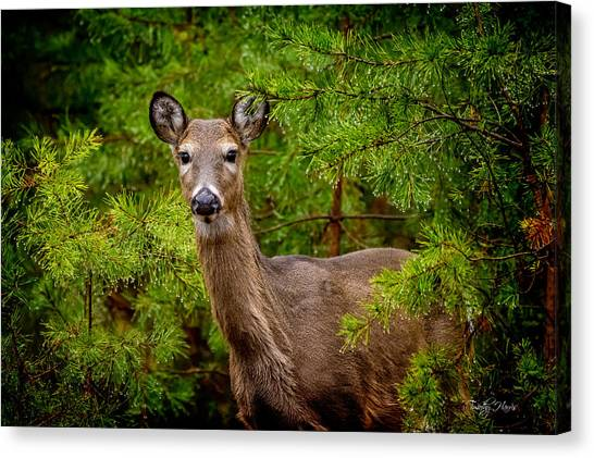 Whitetail In The Pines Canvas Print