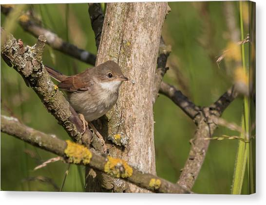 Whitethroat Canvas Print