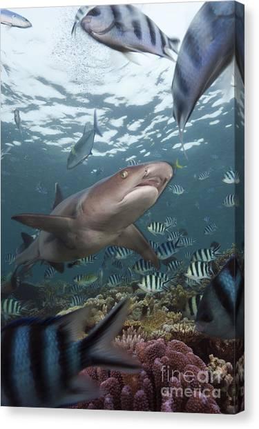 White Tip Sharks Canvas Print - Whitetip Reef Shark by Reinhard Dirscherl