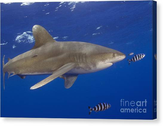 White Tip Sharks Canvas Print - Whitetip Shark by Dave Fleetham - Printscapes