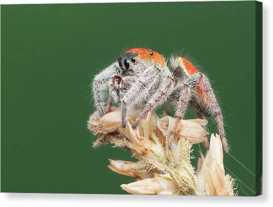 Whitman's Jumping Spider Canvas Print by Derek Thornton