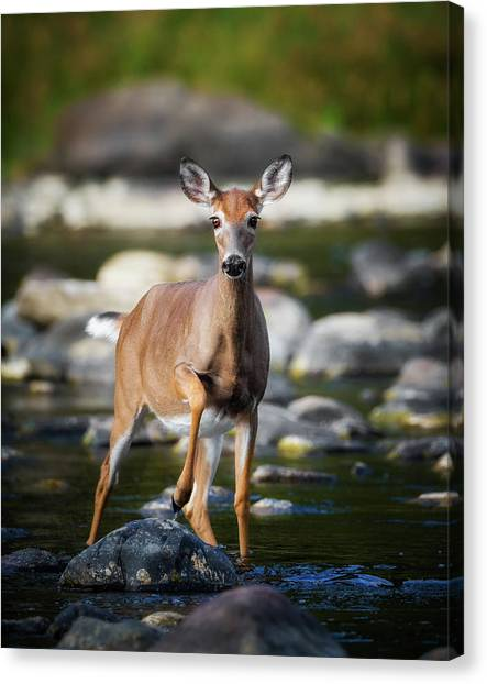 White-tailed Deer Canvas Print - Who Goes There by Bill Wakeley