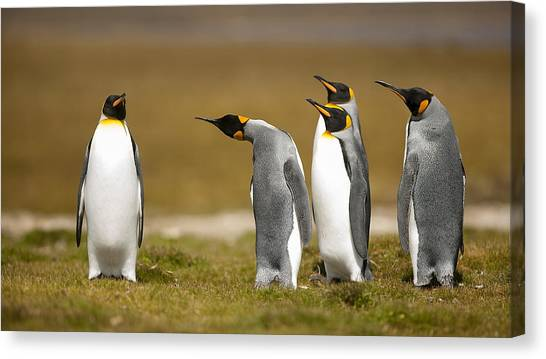 Penguins Canvas Print - Who Has Been? by Joan Gil Raga