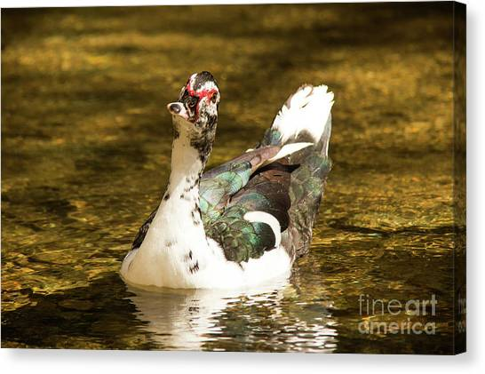 Who Me Wildlife Art By Kaylyn Franks Canvas Print
