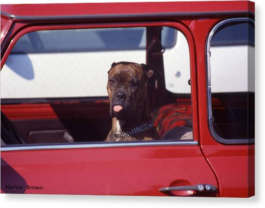 Tongue Canvas Print - Look Who's Driving Now by Harvie Brown