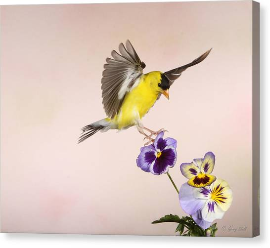 Who's The Pansy Now Canvas Print