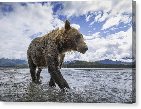 Bears Canvas Print - Wide Angle View Of Coastal Brown Bear by Paul Souders