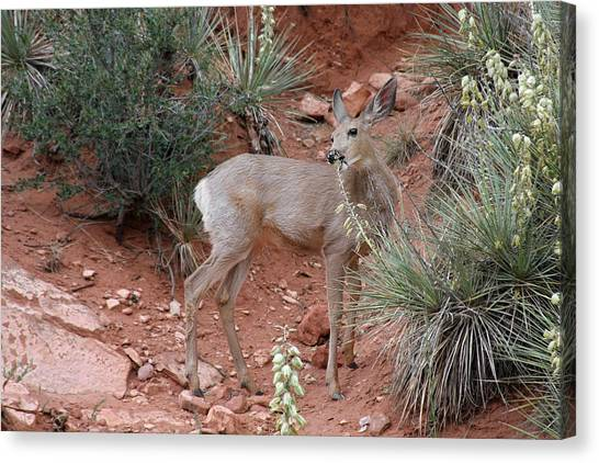 Mule Deer Canvas Print - Wild And Pretty - Garden Of The Gods Colorado Springs by Christine Till