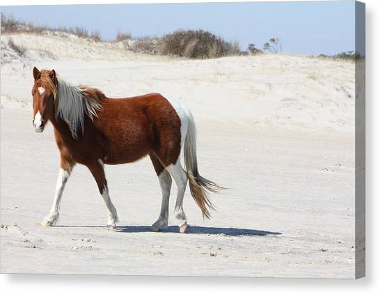 Wild Assateague Ponies 2 Canvas Print