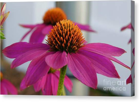 Canvas Print - Wild Berry Coneflower by Megan Cohen